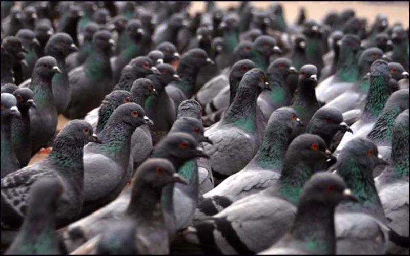 Doença do pombo: principais doenças que os pombos transmitem